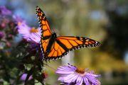 TESHS-Wildlife-Butterfly