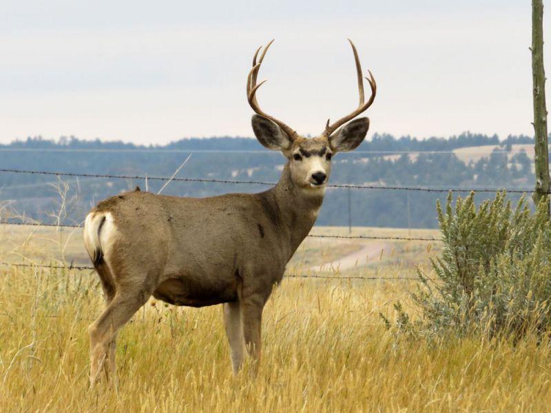 Glendo-State-Park-Mule-Deer