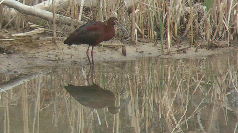 White-Faced-Ibis