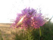 Wyoming-Bee-Plant
