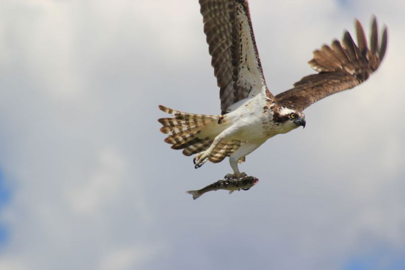 Osprey-Fishing-073