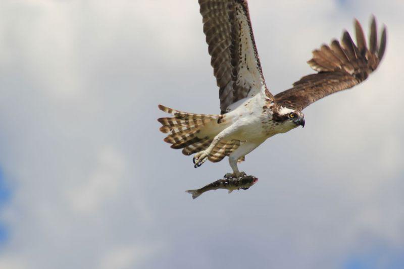 Osprey-Fishing-073