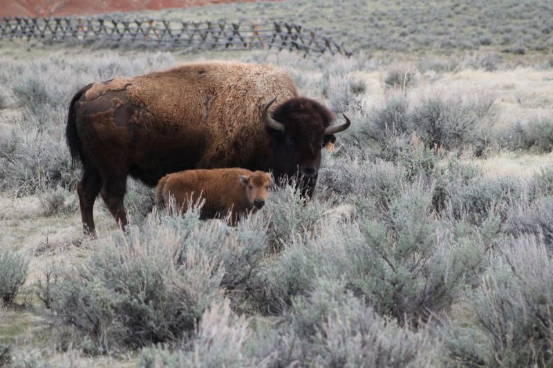 Bison-Baby-027
