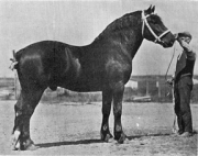 Percheron-Champion